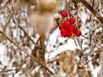 Berries in the winter